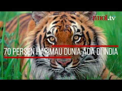 70 Persen Harimau Dunia Ada Di India