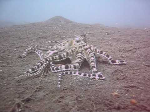 Amazing Mimic Octopus vs Mantis Shrimp Battle