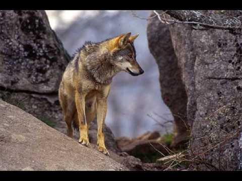 La grandeza de los lobos