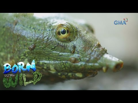Born to Be Wild: The invasion of Chinese Softshell turtles at Pampanga