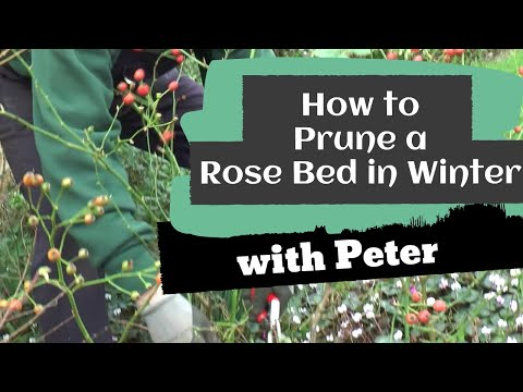 How to garden: How to Prune a Rose Bed in Winter