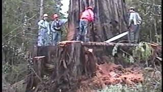 Falling an old growth redwood tree; Humboldt County, CA, 2002