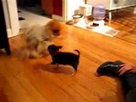 New Chihuahua Puppy meets Bean and Noogie