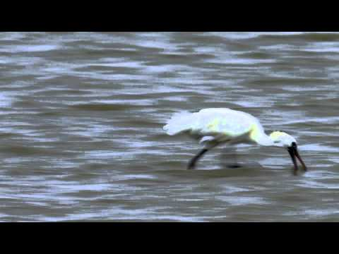 【Taijiang】The Passenger in the Wind - the Black-faced Spoonbill (30sec ver.)