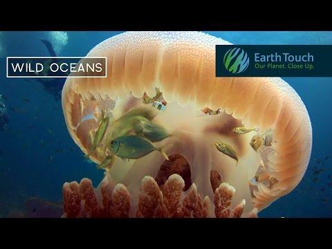 Pikkukalat uivat turvaan saalistajilta meduusan sisälle – Hyvin oivallettu!
