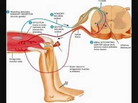 stretch reflex - This is a step by step description of the Stretch Reflex involving muscle spindles.