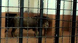 Download Lagu Lion Roaring In Lahore Zoo Mp3