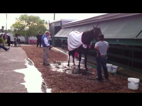 bath - Trainer Shug McGaughey gives Orb a bath on the morning of Preakness Stakes.