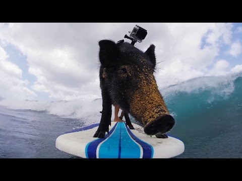 GoPro: Kama The Surfing Pig