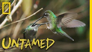 Hummingbird Battleground | Untamed by Nat Geo WILD
