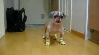 Cute little dog Booba walk with shoes !