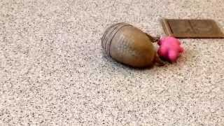 A Southern Three-banded Armadillo Playing Is Too Cute To Watch