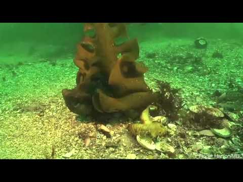 Where's The Octopus - camouflage in cephalopods--squid, cuttlefish and octo