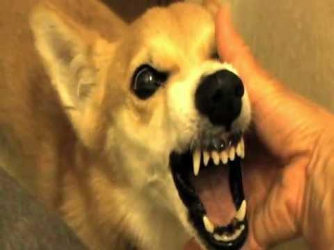 主人居然這樣對待「生氣中」的小狗..讓人看了冷汗直流啊!