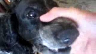 Собака «бэ-бэ-бэ»