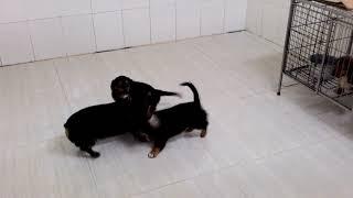 Download Lagu Female dachshund mixed corgi Mp3