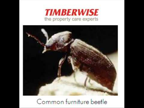 woodworm - This short podcast from woodworm experts Timberwise looks at the lifecycle of the woodworm (Common furniture beetle). Timberwise are experts in woodworm trea...