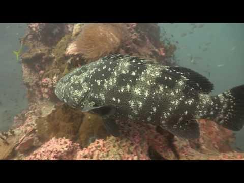 Diving Thailand 25 November 2016 Sail Rock Underwater video