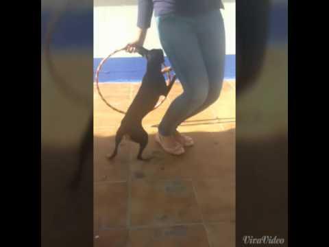 pincher salta con hula hoop!