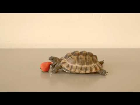 Alan Rickman Narrates a Video About a Tortoise Slowly Consuming a Strawberry for a Good