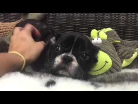 Playful AKC French Bulldog