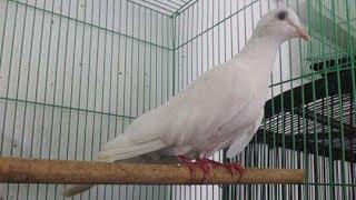 Suara Merdu Burung Puter Putih Gacor Istimewa