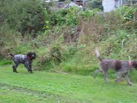 GWP 'Biggles' Compilation From Puppy To Elder