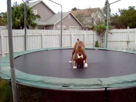 Boxerpuppies Youtube on Dog   This Is Chago The Worlds Most Loved Boxer  He Enjoys