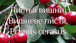Вишня (листя)