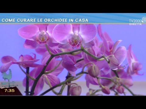 come avere sempre orchidee rigogliose in casa