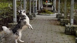 Just a cute clip of our husky Tundra being tortured by a squirrel. :) Adopt Don't Shop