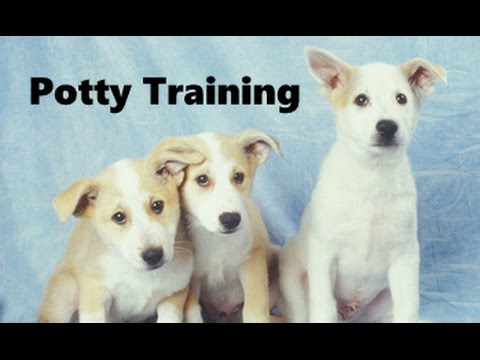 How To Potty Train A Canaan Dog Puppy – Canaan Dog House Training Tips – Canaan Dog Puppies