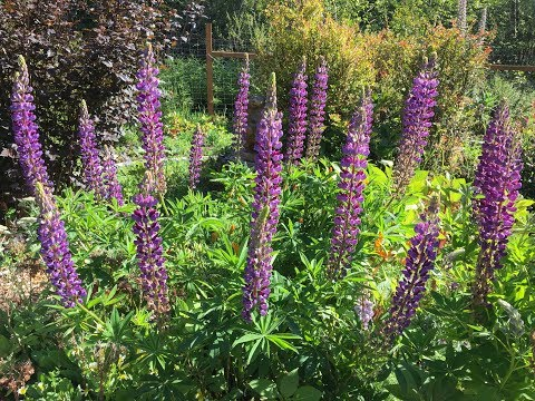 Lupines and Bees...It's Complicated
