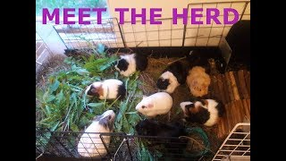 Today I introduce you to my 20 female guinea pigs. Follow us on Facebook.com/jewelsguineapigpalace ...