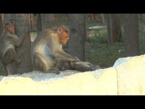 Monkey Mom Mourns Baby's Death (видео)