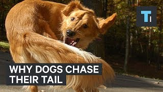 A dog chasing its tail may be a sign of a direr issue. Like humans, dogs can suffer from a form of obsessive-compulsive disorder, called canine compulsive disorder.Read more: http://www.businessinsider.com/saiFACEBOOK: https://www.facebook.com/techinsiderTWITTER: https://twitter.com/techinsiderINSTAGRAM: https://www.instagram.com/businessinsider/TUMBLR: http://businessinsider.tumblr.com/