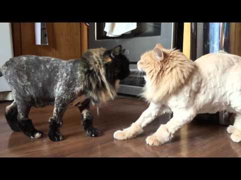 nieoczekiwany-skutek-ostrzyzenia-kotow