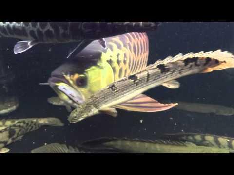 120センチ古代魚水槽 過背金龍