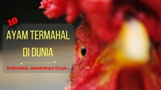 Video 10 Jenis Ayam Termahal Di Dunia MP3, 3GP, MP4, WEBM, AVI, FLV Januari 2018