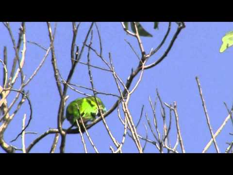 Double Eyed Fig Parrot – Bird watching in Australia with Ej-Birdwatching