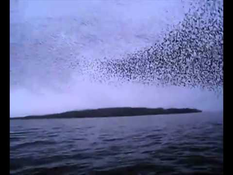 River Shannon Murmuration, by Sophie and Liberty (9,2)