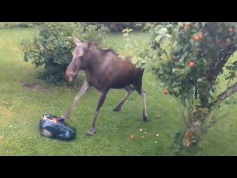 Hirvi vs. ruohonleikkuri – Menetkös siitä!