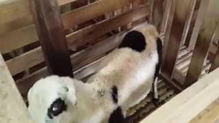Video Suara Riuh di Peternakan Domba MP3, 3GP, MP4, WEBM, AVI, FLV November 2018