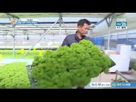 Салат латук. Зелень. КореяАГРО. ТЕПЛИЦЫ. двойная плёнка