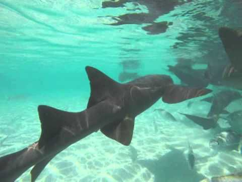 Swimming with Nurse Sharks in the Exuma Cays, Bahamas