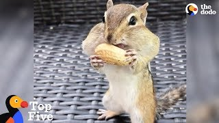 Chipmunk Fills Mouth with Peanuts + Tiny Animals Doing Cute Things   The Dodo by The Dodo