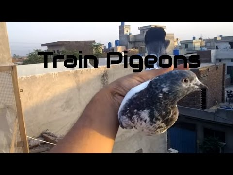 How to train new high flying pigeons chicks to come back home part 2  by Raja Bhai