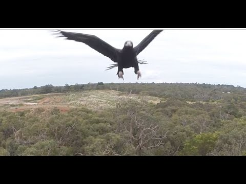 Eagle takes out a drone in mid-air