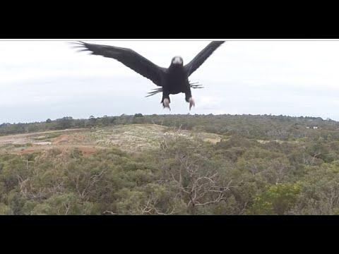 Aquila contro drone volante