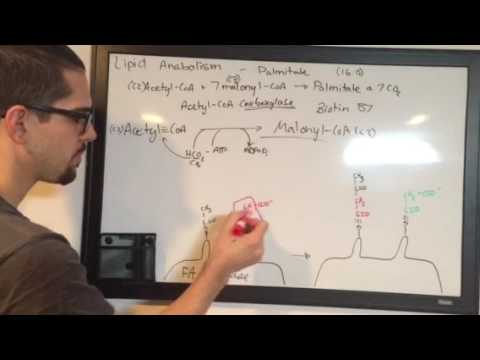 Lipid Anabolism